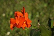 Lc. Trick or Treat x Blc. Orange Show ,Cloud Forest'