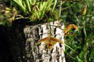 Scaphosepalum swertifolium yellow