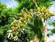 Dendrobium (Inobulbum) munificum