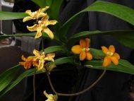 Dimorphorchis rossii