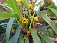 Maxillaria variabilis var.: Yellow