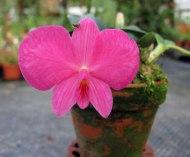 Sophronitis wittigiana/rosea