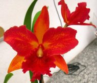 Blc. Dinh Thuy Yen 'Orchidglade'