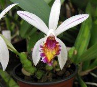 Pleione maculata var.: Striata