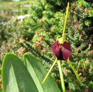 Masdevallia bicolor ,Excelent'