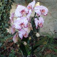 Phalaenopsis ,Emiliya' Cascade blühend