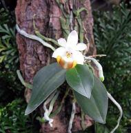 Miniaturorchideensortiment