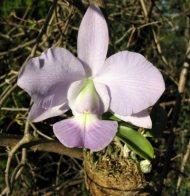 Cattleya walkeriana var. Coerulea ,Terra Azul'