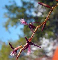 Bulbophyllum saltatorium var.: albociliatum