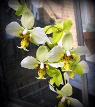 Phalaenopsis stuartiana ,Yellow Strain'