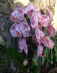 Phalaenopsis ,Kasshi' Cascade , blühend
