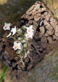 Conschidium extinctorium (Eria extinctoria)