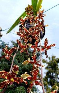 Dimorphorchis lowii