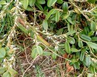 Bulbophyllum clandestinum