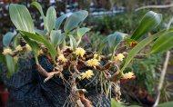 Bulbophyllum flavocapitatum