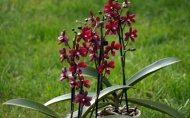 Doritaenopsis ,La Reine de Porcelaine'