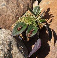Lepanthes gorgoyla