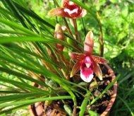 Maxillaria atrosanguinea