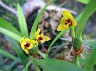 Maxillaria variabilis var.: Yellow