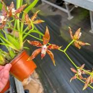 Odontoglossum cristatum