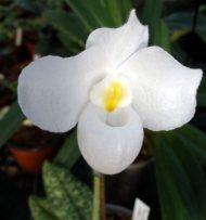 Paphiopedilum delenatii fma. Alba