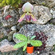 Paphiopedilum superbiens x callosum