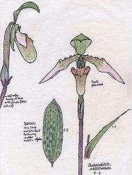 Paphiopedilum wolterianum