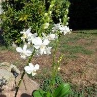 Phalaenopsis pulcherima alba (Dorites)
