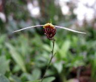 Scaphosepalum martinae