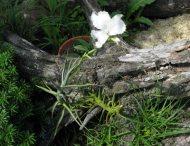 Tillandsia diaguitensis fragrant
