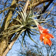 Tillandsia recurvifolia var. subsecundifolia