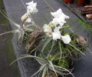 Tillandsia xiphioides fragrant