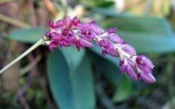 Bulbophyllum triste