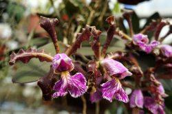 Cattleya schilleriana