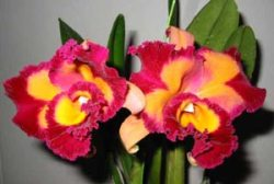 Blc. Chinese Beauty 'ORCHIS'