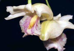 Dendrobium nudum