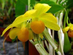 Dendrobium chrysocrepis