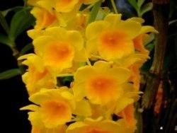 Dendrobium griffitianum