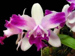 Cattleya intermedia aquinii