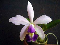 Cattleya violacea var.: Coerulea