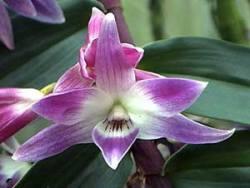 Dendrobium victoria-regina