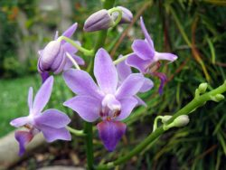 Doritonopsis Purple Gem ,Aida'
