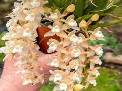 Pholidota sinensis