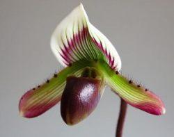 Paphiopedilum barbatum var. nigritum