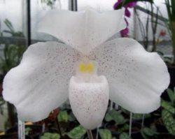Paphiopedilum niveum