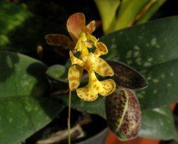 Oncidium limminghei