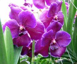 Vanda Violet Blue