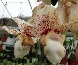 Stanhopea nigroviolacea x insignis