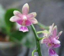 Phalaenopsis deliciosa(Kingidium deliciosum)