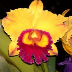 "Blc. Chief Village Triumph ""Golden Peace""F/S"